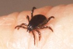 The brown dog tick can infest homes (image source)