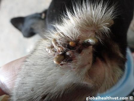 Brown dog tick infestation - photo#9
