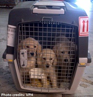 Golden retriever puppies passing through Los Angeles International Airport (Photo source)