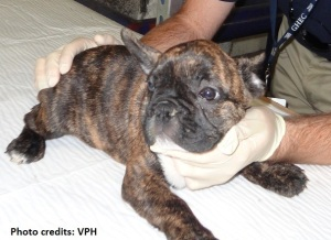 Examination of a French bulldog imported at Los Angeles International Airport (Photo source)