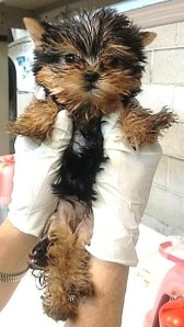 Physical examination of a Yorkie puppy at Los Angeles International Airport (Photo source)
