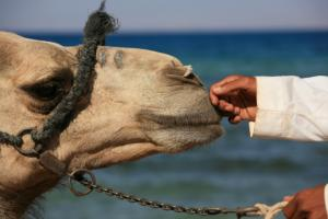 camel_and_hand