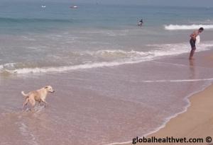 Stray dog Goa